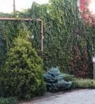 Вертикальное озеленение, посадка хвойных